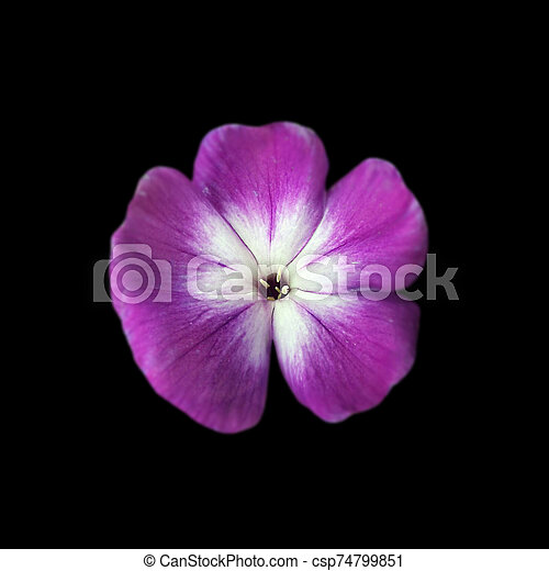 Beautiful purple flower isolated on a black background - csp74799851