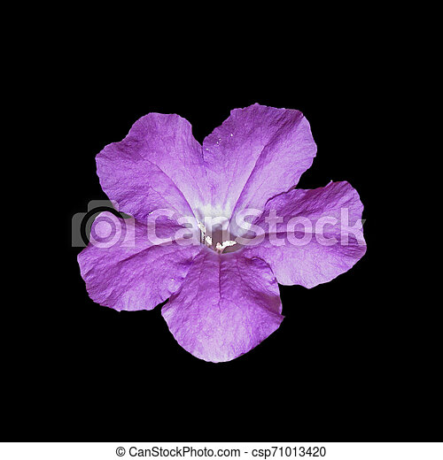 Beautiful purple flower isolated on a black background - csp71013420