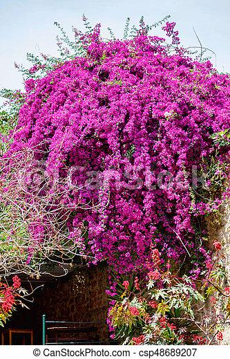 Beautiful purple flowers on a green jacaranda tree peoples houses beautiful purple flowers on a green jacaranda tree csp48689207 mightylinksfo