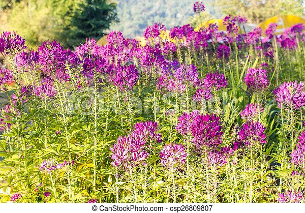 Beautiful purple flowers outdoors - csp26809807