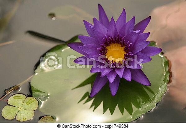 Beautiful Purple Lotus on Lilly Pad - csp1749384