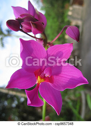 Beautiful purple orchid - csp9657348