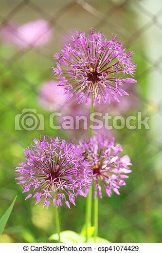 Beautiful purple spring flowers outdoors - csp41074429
