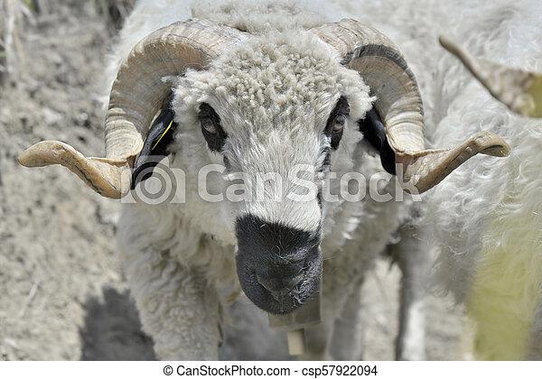 beautiful ram with horns - csp57922094