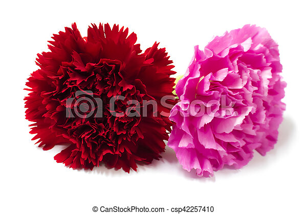 Beautiful red and pink carnation. - csp42257410
