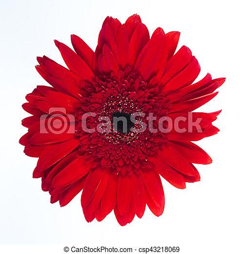 Beautiful red chrysanthemum on white background. - csp43218069