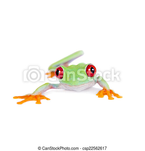 Beautiful red eyed tree frog on white background - csp22562617