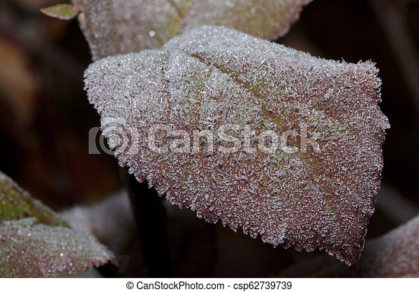 Beautiful red leaf covered with hoarfrost. Close up. - csp62739739
