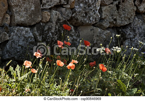 Beautiful red poppy on the background of a masonry stone wall - csp90846969