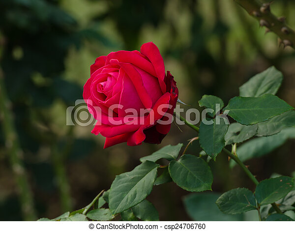 beautiful red rose in a garden - csp24706760