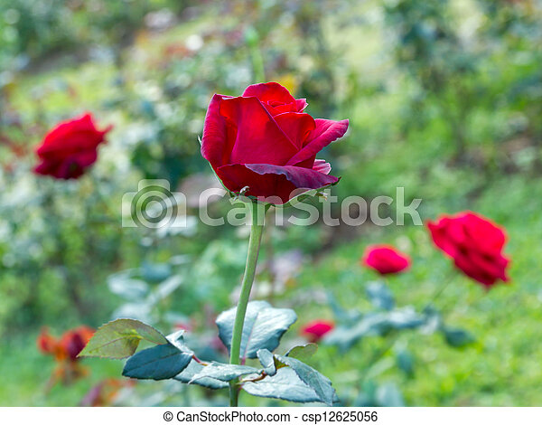 Beautiful red rose in a garden - csp12625056