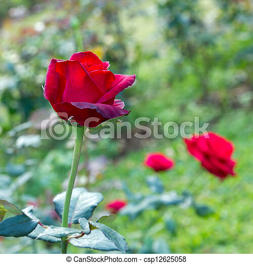 Beautiful red rose in a garden - csp12625058