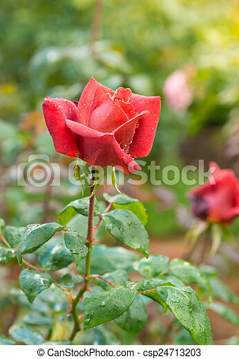 beautiful red rose in a garden - csp24713203