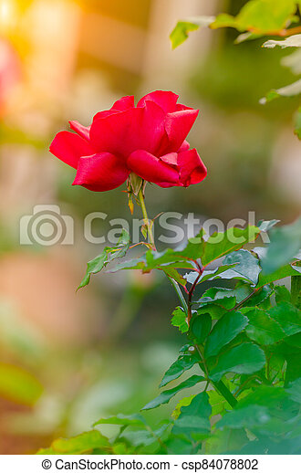 beautiful red rose in a garden - csp84078802