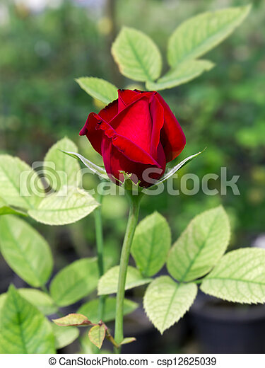 Beautiful red rose in a garden - csp12625039