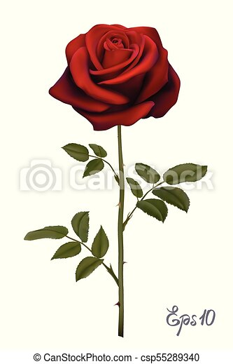 Beautiful red rose Isolated on white background. - csp55289340