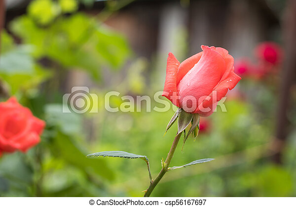 Beautiful red rose on green branch with on plain green background - csp56167697