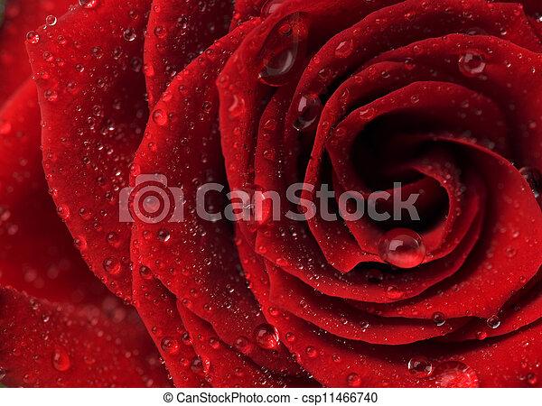 Beautiful Red Rose  - csp11466740