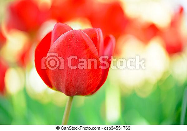 Beautiful Red Tulip in Field. Flower Image with Bright Background - csp34551763