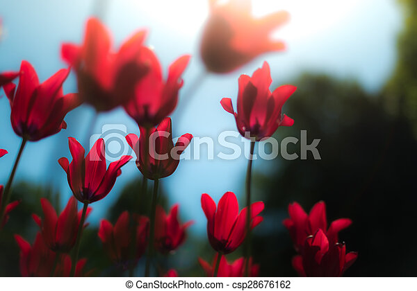 Beautiful red tulips in field in spring. - csp28676162
