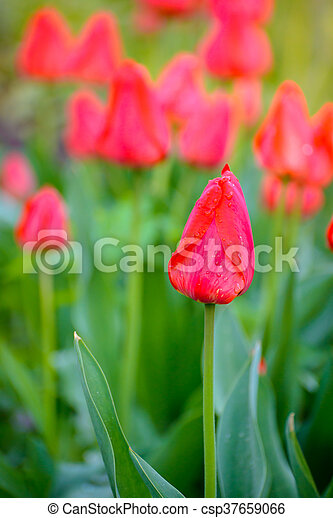 Beautiful Red Tulips in the Field. Spring Flowers - csp37659066