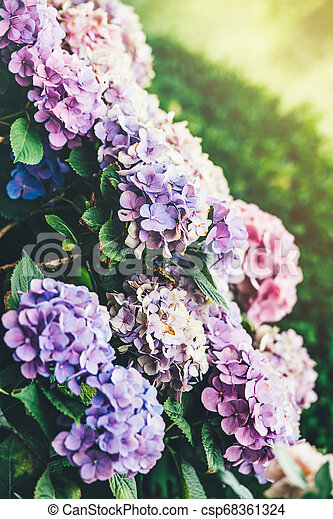 Beautiful Rhododendron Plants In Bloom Side View Of Wide