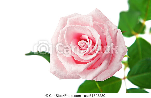 Beautiful rose isolated on a white background - csp61308230