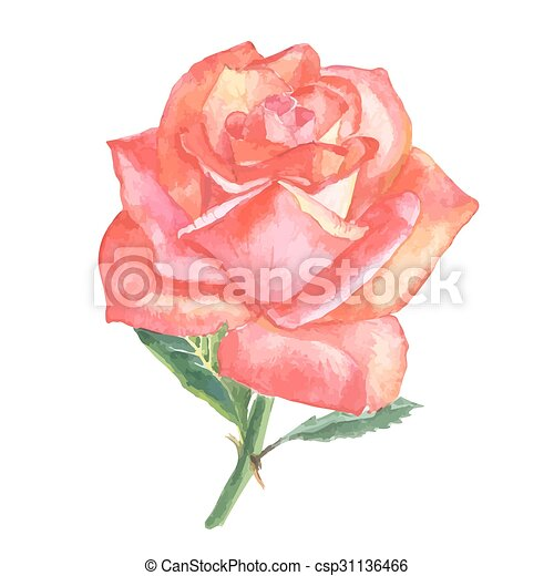 Beautiful Rose Watercolor Hand Painted Isolated On White Background