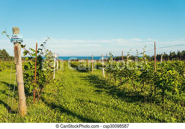Beautiful rows of grapes  - csp30098587