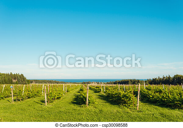 Beautiful rows of grapes - csp30098588