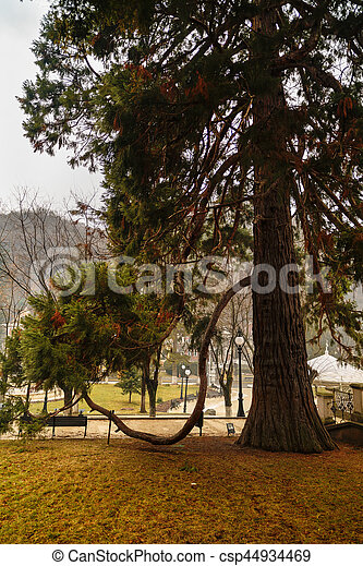 beautiful secular pine in the park - csp44934469