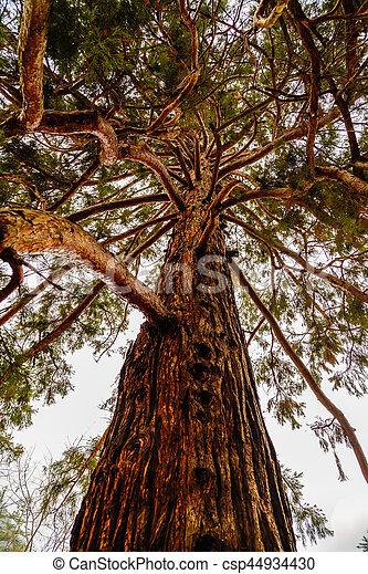 beautiful secular pine in the park - csp44934430