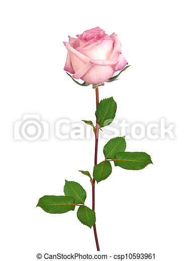 Beautiful single pink rose isolated on white - csp10593961