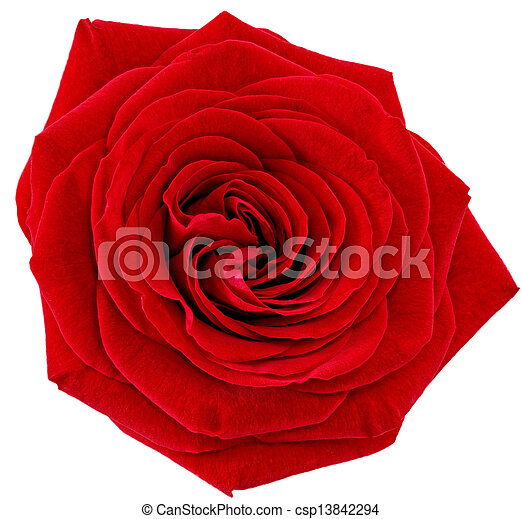 Beautiful single red rose flower  Isolated