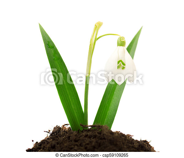 Beautiful snowdrop flower white isolated on white background - csp59109265