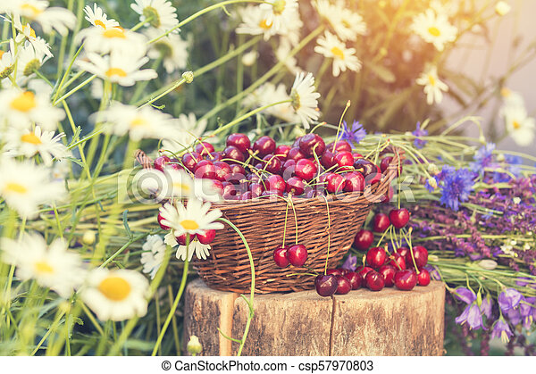 Beautiful spring background with cherries and flowers. Sunlight, sunset. - csp57970803