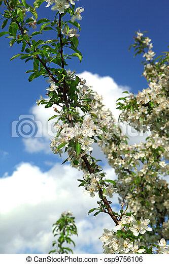 Beautiful spring blossoming tree - csp9756106