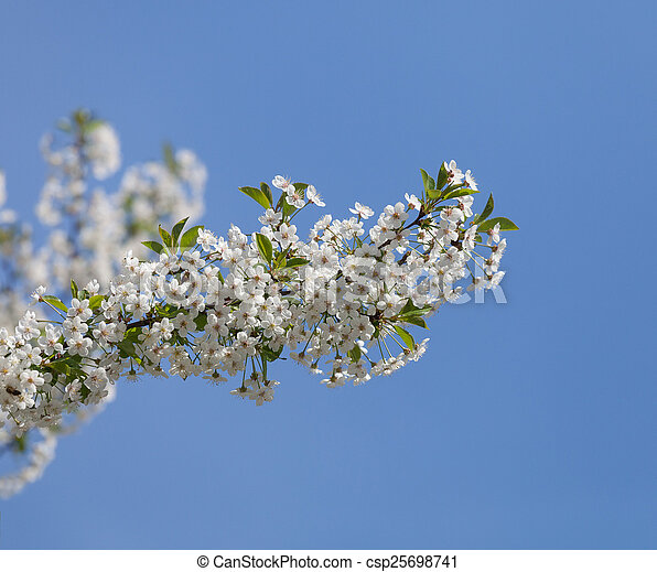 Beautiful spring flowers cherry on a background of blue sky - csp25698741