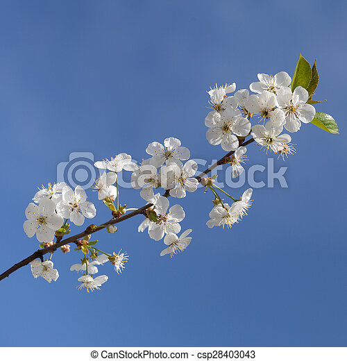 Beautiful spring flowers cherry on a background of blue sky - csp28403043