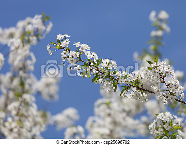 Beautiful spring flowers cherry on a background of blue sky - csp25698792