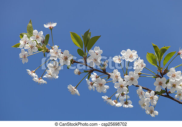 Beautiful spring flowers cherry on a background of blue sky - csp25698702