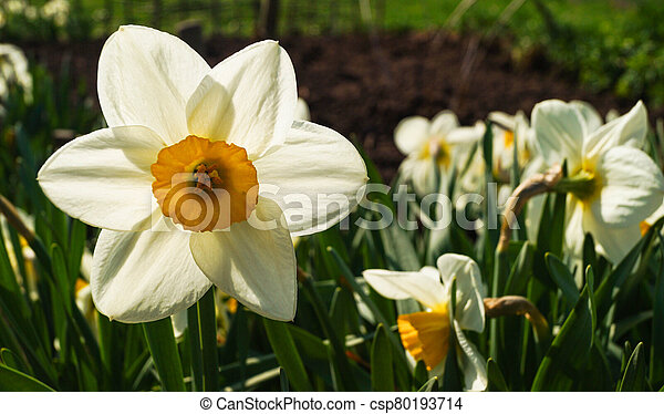 Beautiful spring flowers daffodils on a background of blue sky - csp80193714