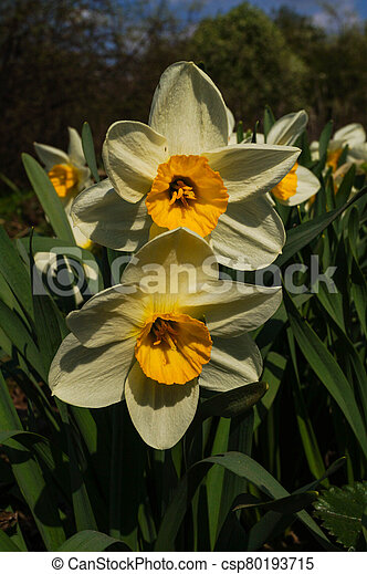 Beautiful spring flowers daffodils on a background of blue sky - csp80193715