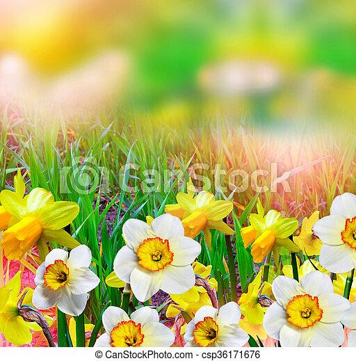 Spring landscape beautiful spring flowers daffodils yellow beautiful spring flowers daffodils yellow flowers csp36171676 mightylinksfo