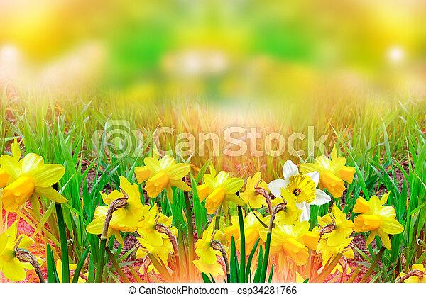 Spring landscape beautiful spring flowers daffodils yellow beautiful spring flowers daffodils yellow flowers csp34281766 mightylinksfo