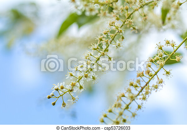 Beautiful spring scene with many little flowers. Cherry bird-cherry tree blossom. Blue sky background. Toned photo. Shallow depth of the field. - csp53726033