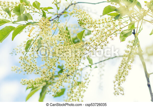 Beautiful spring scene with many little flowers. Cherry bird-cherry tree blossom. Blue sky background. Toned photo. Shallow depth of the field. - csp53726035