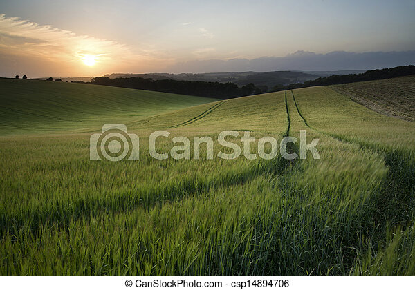 Beautiful Summer landscape of field of growing wheat crop during sunset - csp14894706