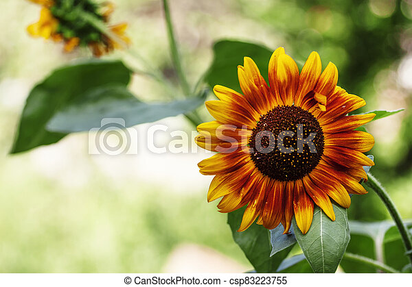 Beautiful summer sunflowers, natural blurred background, selective focus, shallow depth of field - csp83223755