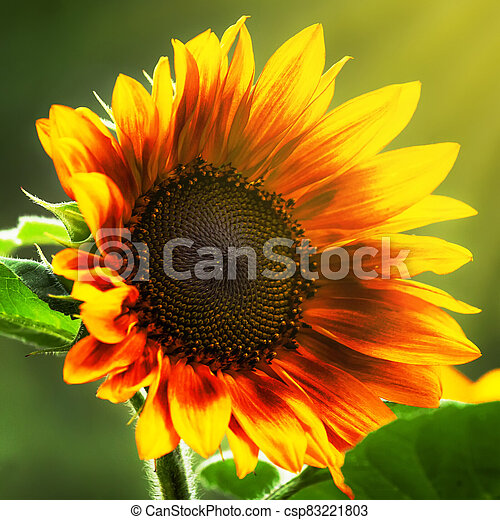 Beautiful summer sunflowers, natural blurred background, selective focus, shallow depth of field - csp83221803